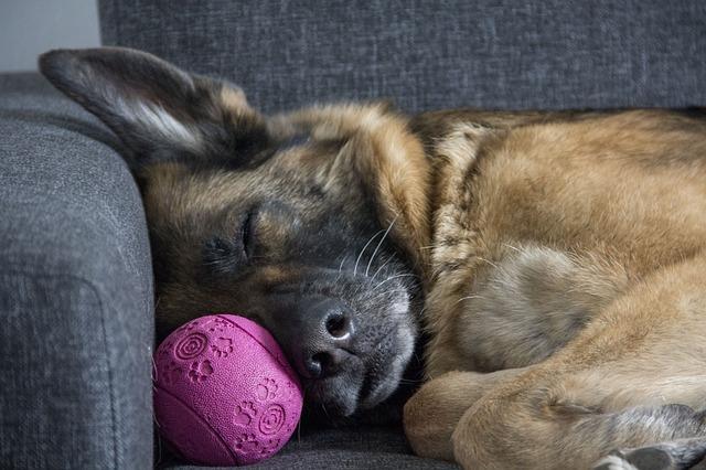 śpiący owczarek niemiecki