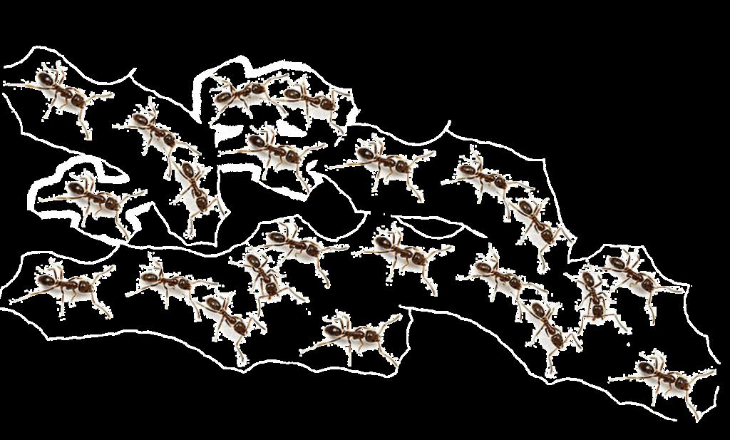 mrówki faraonki w domu