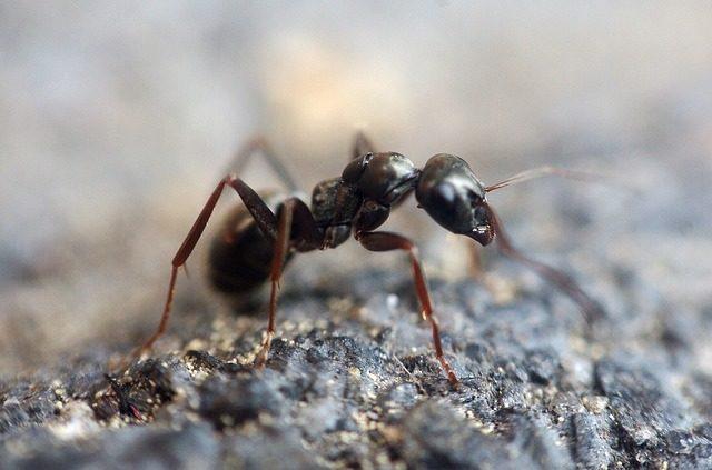 mrówki w mieszkaniu i w domu