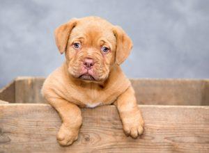 Jaką wybrać rasę psa